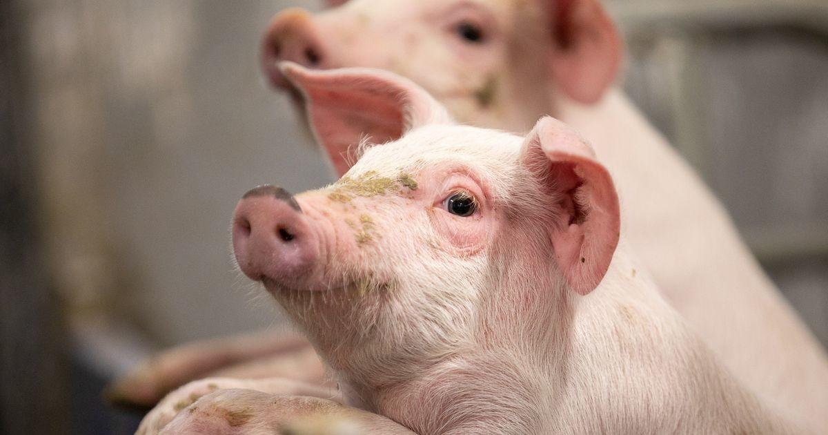 Вспышка АЧС: на ферме в Харьюмаа убито почти 2000 свиней
