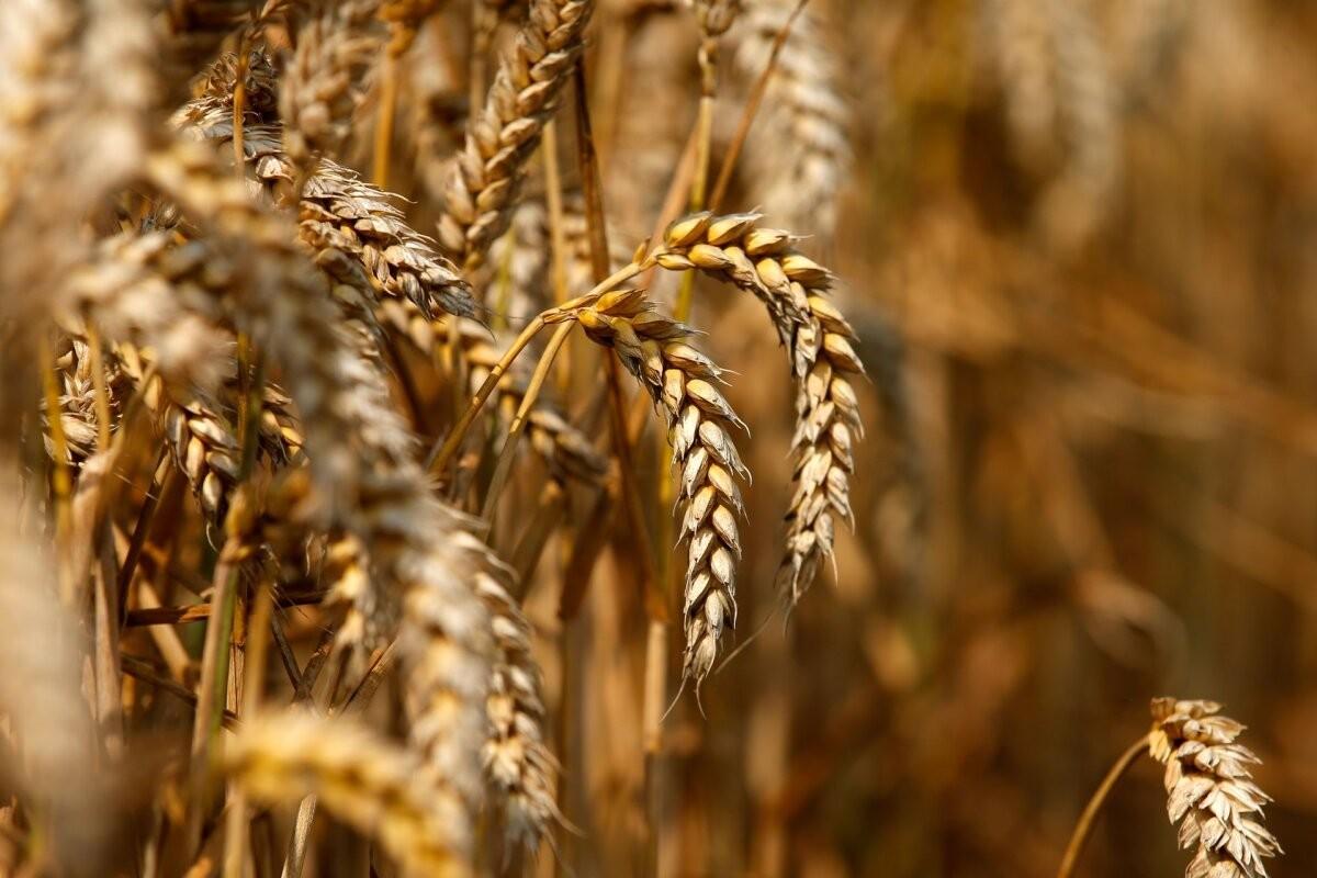 Фермеры не теряют надежды на хороший урожай зерновых