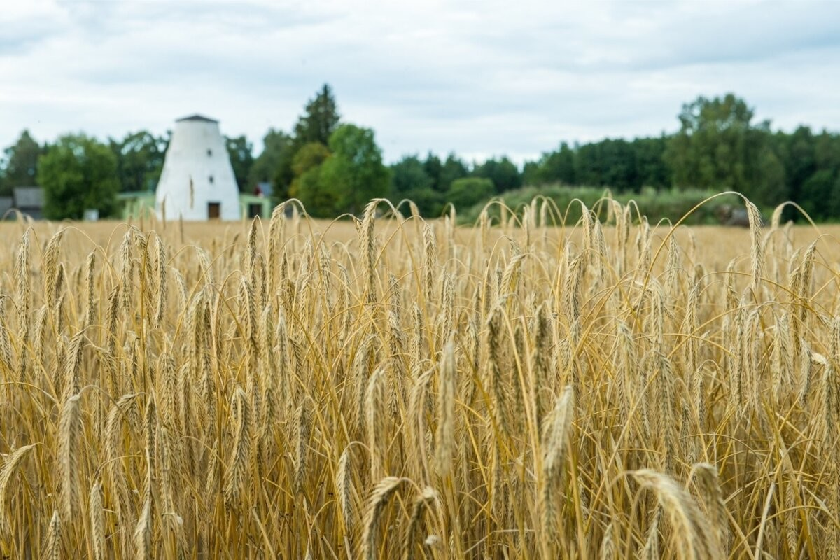 Не самый полезный для здоровья человека злак получает на полях Эстонии всё большее распространение
