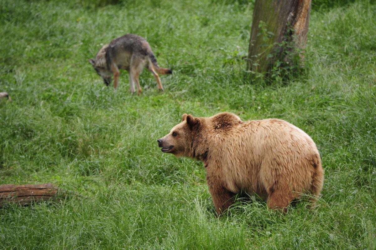 УНИКАЛЬНЫЙ КАДР   Волк и медведь вместе гуляют по лесу в Харьюмаа