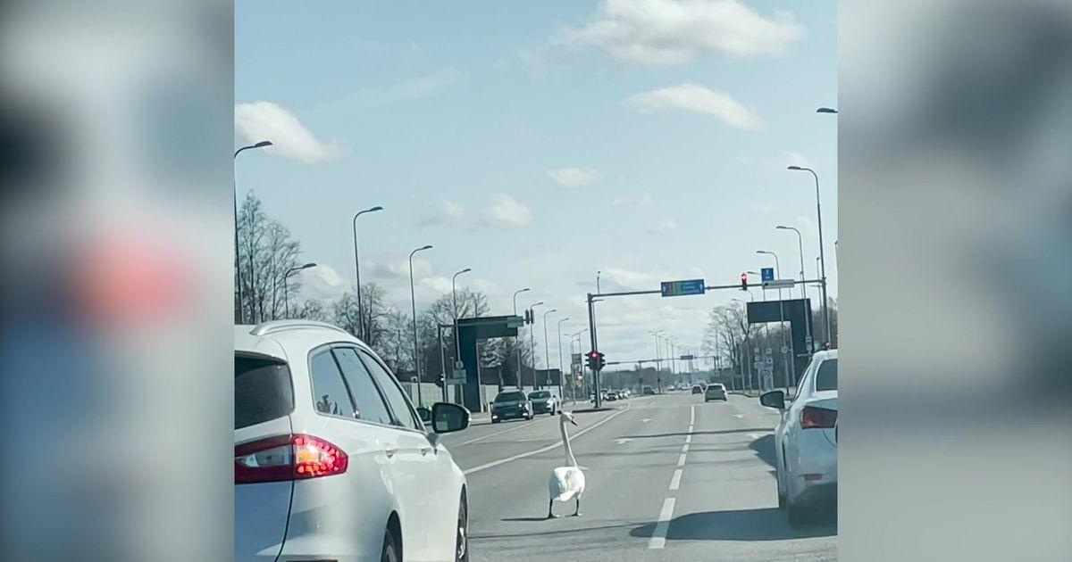 Лебедь остановил все автомобильное движение около аэропорта