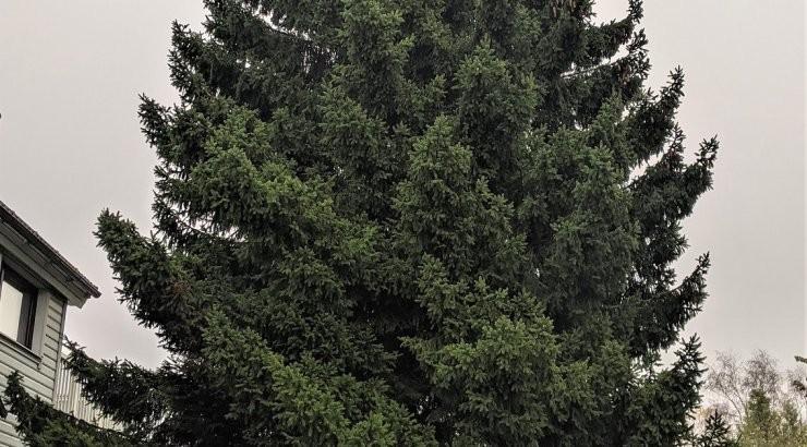 Назван район, откуда привезут ель для Ратушной площади