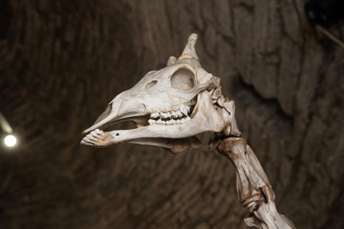ФОТО: в музей Кик-ин-де-Кек привезли скелет жирафа