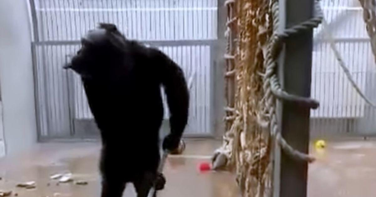 Шимпанзе в Таллиннском зоопарке подмела в своей клетке пол