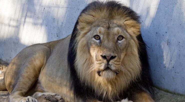 Проживавшего в Таллиннском зоопарке льва Джонни пришлось усыпить