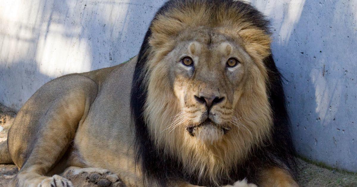В Таллиннском зоопарке умер лев