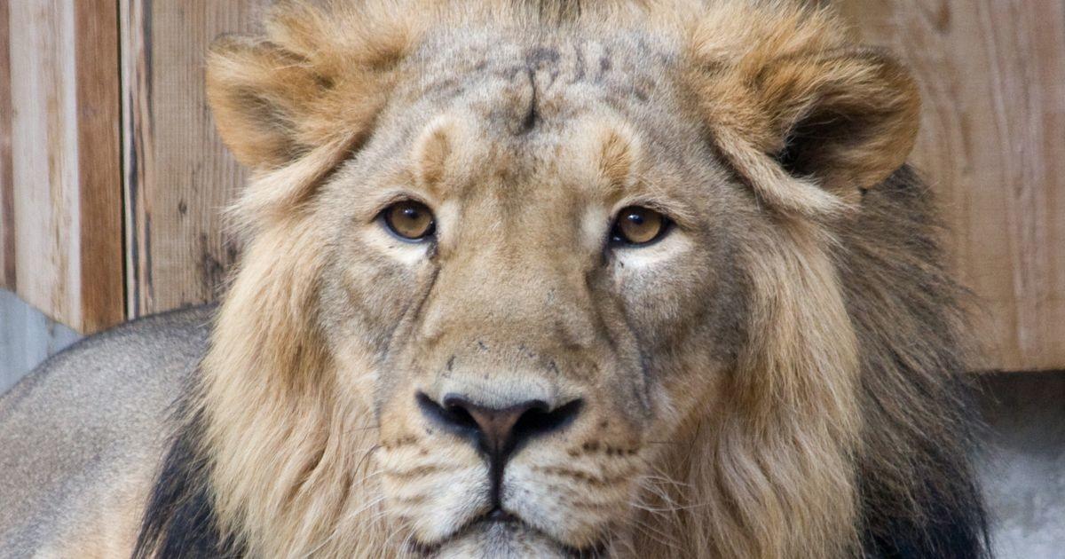 В Таллиннском зоопарке усыпили льва: вспоминаем жизнь Джонни (ФОТО)
