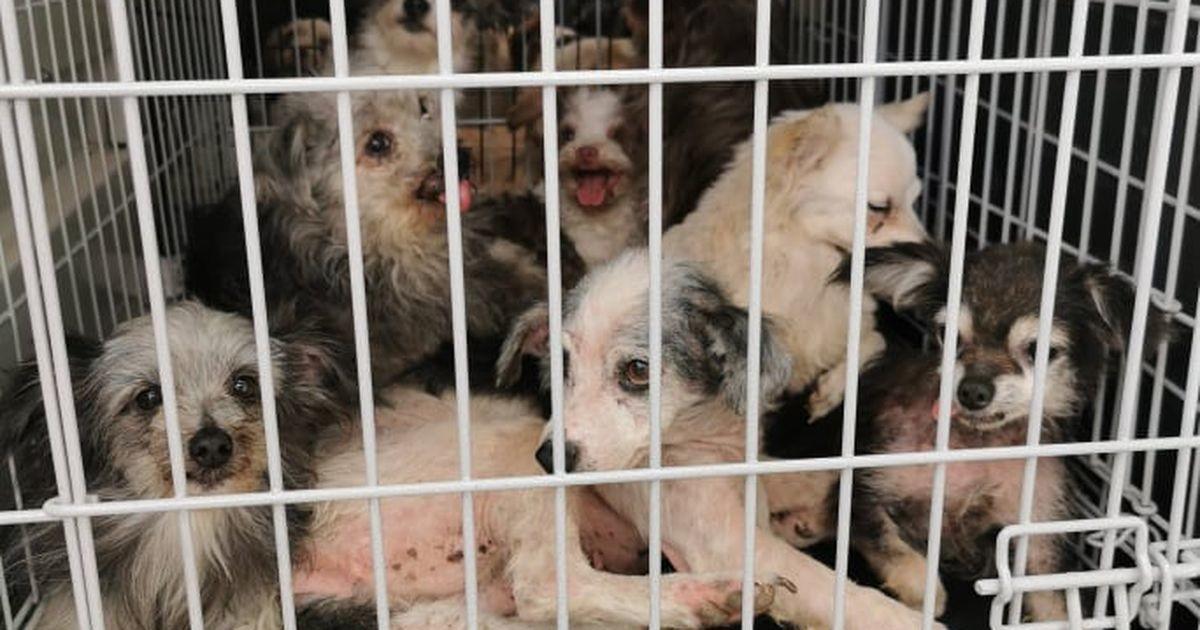 Смрад, мусор и паразиты: из колонии в Рапламаа удалось спасти более 60 собак