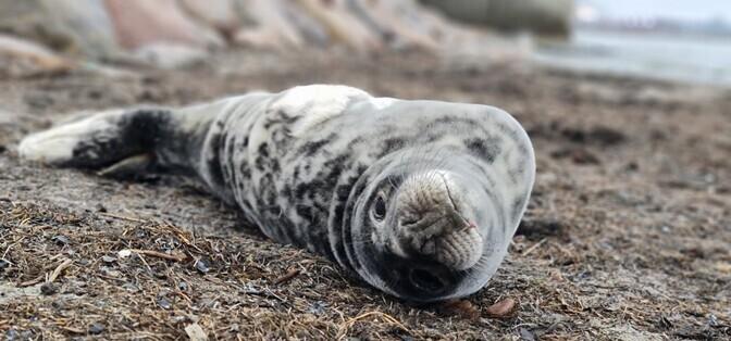 На пляже Пирита спасатели помогли детенышу тюленя, в носу которого застрял рыболовный крючок