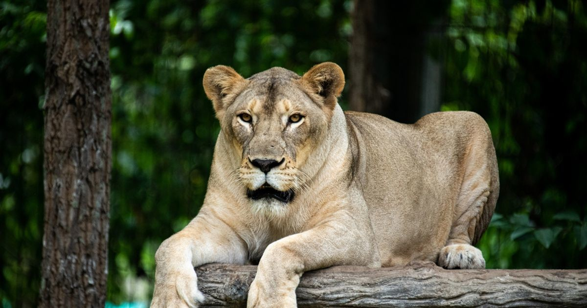В России львица напала на ребенка