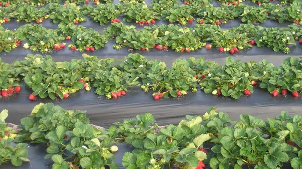 Десятки тонн ягод сгниют на латвийских полях: работать некому