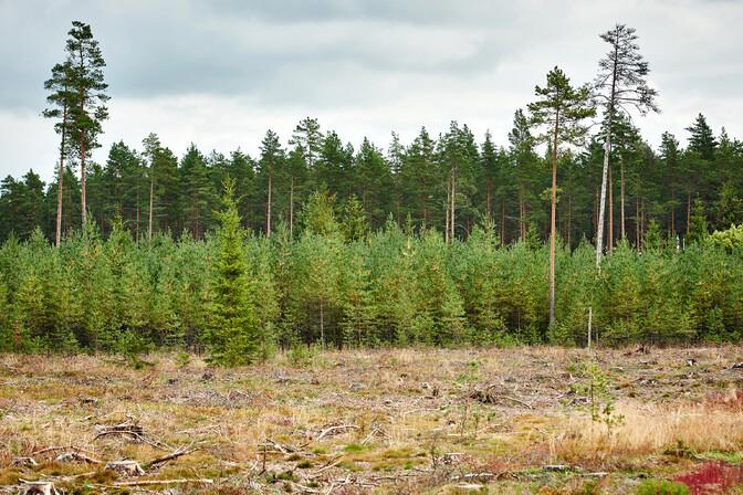 """""""Народу важно"""": планы обновления леса в Нарва-Йыэсуу беспокоят местных жителей"""