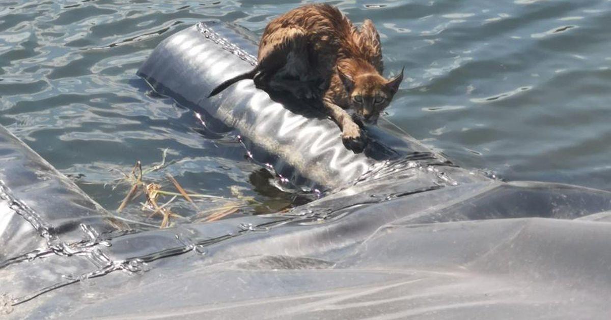 В Кивиыли спасли едва не утонувшую рысь