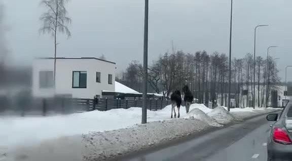 ВИДЕО | Два огромных лося гуляют по тротуару в Виймси