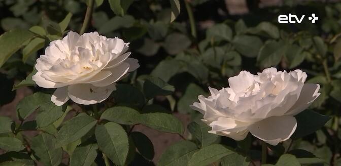 В Таллиннском ботаническом саду проходят традиционные Дни роз