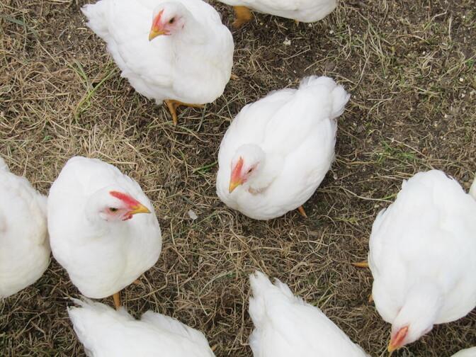 Птичий грипп подошел опасно близко к Эстонии