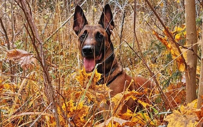 В выходные помощь полиции потребовалась 17 грибникам, проявил себя и служебный пес Ведур