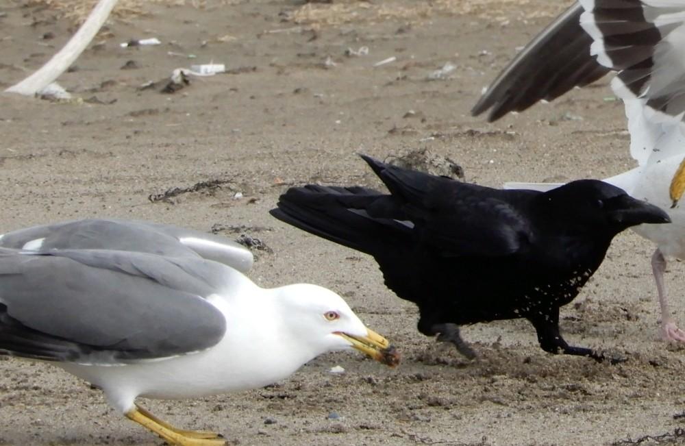Управа Ласнамяэ призывает обратить внимание на проблему гнездования чаек и других птиц на крышах