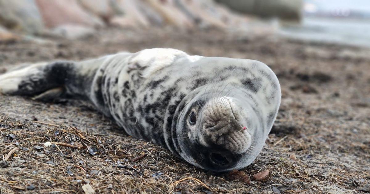 На пляже Пирита найден детеныш тюленя с рыболовным крючком в носу