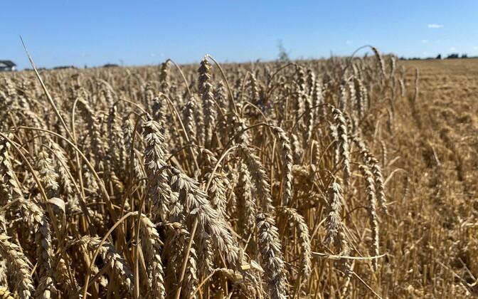 Производители зерна настроены оптимистично, несмотря на продолжительную засуху