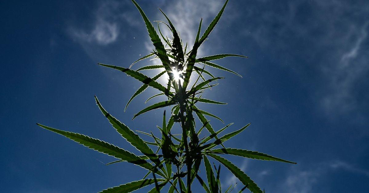 Всемирное антидопинговое агентство пересмотрит запрет на марихуану для спортсменов