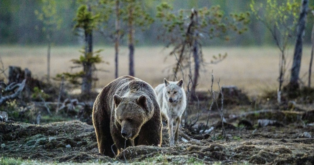 Редкий кадр: в Харьюмаа засняли гуляющих вместе медведя и волка