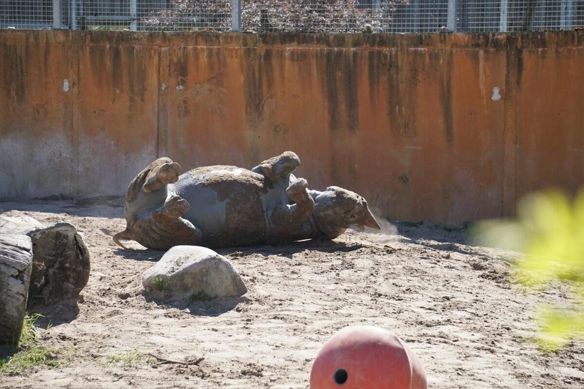 ВЕСЕЛЫЕ ФОТО   Носорог из Таллиннского зоопарка наслаждается косметическими процедурами