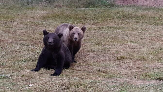 Медведи разорили более 80 пчелиных ульев в Вильяндиском уезде