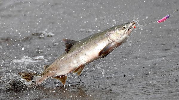 В Литве запрещен лов лосося и кумжи